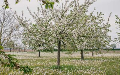 Witte boomgaard
